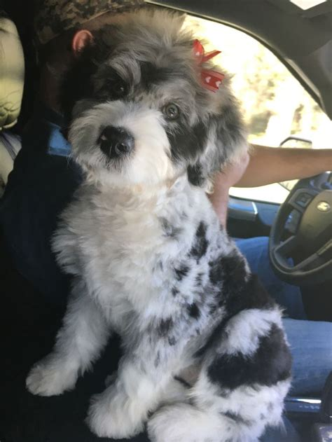 aussiedoodle haircuts 3107 best images about it s a dog s life meow too on