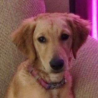 6 month golden retriever weight piper orchid 3457 golden retriever rescue of mid florida