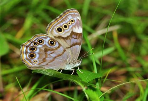 pattern formation and eyespot determination in butterfly wings butterfly eyespots have potential scitech the earth times