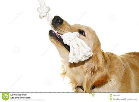 my golden retriever puppy bites all the time golden retriever biting rope royalty free stock photo image 18482045