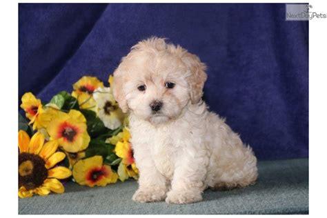 cockapoo puppies near me me cockapoo puppy for sale near lancaster pennsylvania 8254f0e9 a961