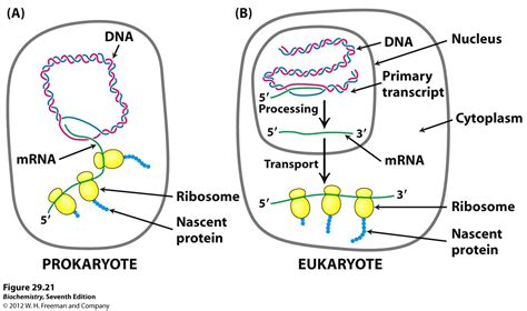 where in a eukaryotic cell does translation occur where in a eukaryotic cell does translation occur