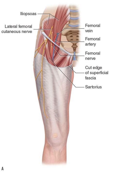 Lateral Femoral Cutaneous Nerve Cadaver
