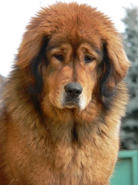 bullmastiff x golden retriever 25 best ideas about tibetan mastiff puppies on tibetan mastiff big