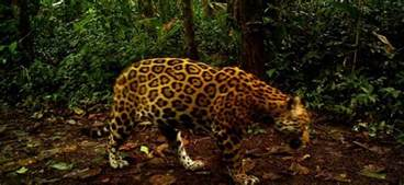 Jaguar Conservation Jaguar Conservation In Costa Rica Gvi Uk
