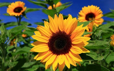 fiori di girasole fiore di girasole significato dei fiori significato