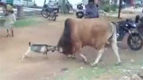 Tempat Pakan Ternak Sapi ternak sapi bandung cara ternak sapi lokal