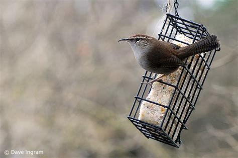 bewick s wrens at the feeder