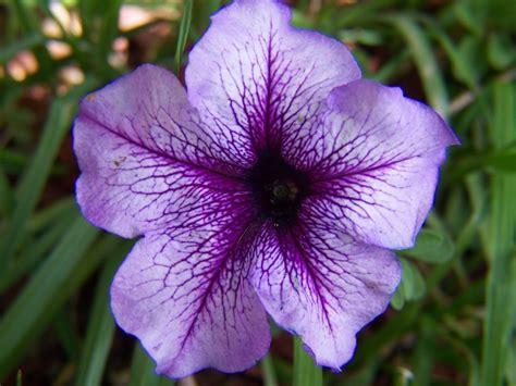 Petunien Bilder by Petunie Flower Wallpaper 1024x768 31301