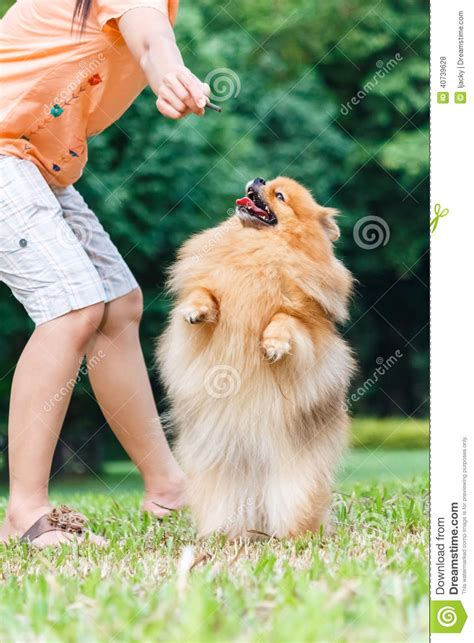 pomeranian hind legs pomeranian standing on its hind legs to get a treat stock photo image 40739628
