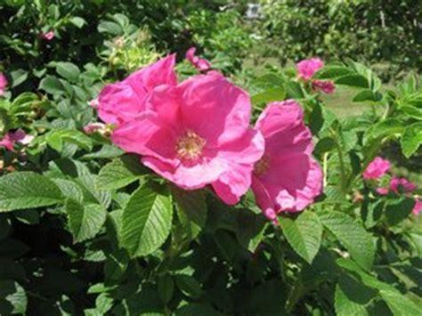 wild rose iowa state flower travel iowa usa the state flower of iowa wild prairie roses
