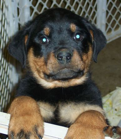 german rottweiler puppies az past puppy pictures
