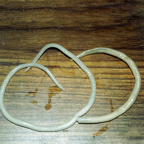 how do dogs get roundworms roundworm www pixshark images galleries with a bite