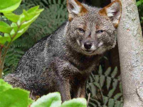imagenes animales zorro zorro chilote wiki acam fandom powered by wikia