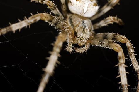 Garden Spider Lives Mp E Spiders Up And Personal Macro In
