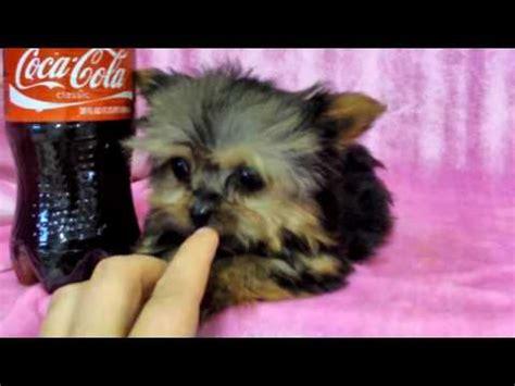 world s smartest yorkie misa minnie worlds smartest puppy 22 wks terriers yorkies