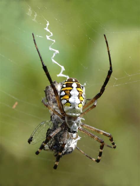 Garden Spider Benefits Orb Weaver Spider Wikiwand