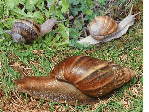 backyard snails common garden snail escargot edible snail and the giant