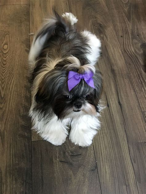 what two dogs make a shih tzu 180 best images about dogs on taps puppies and small dogs