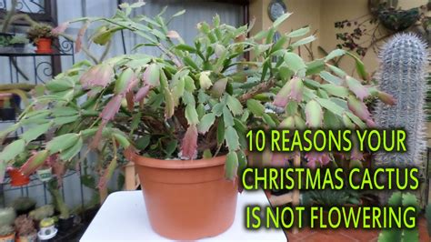 how much darkness do christmas cactus need how much light do cactus need decoratingspecial