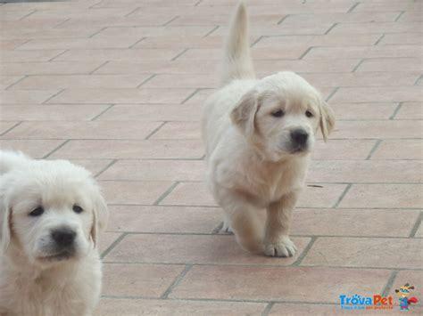 allevamento golden retriever pavia cuccioli di golden retriever in vendita a voghera pv