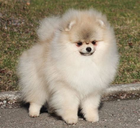 different pomeranian sizes different types of pomeranian dogs breeds picture