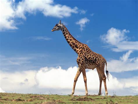 imagenes jirafas giraffe new calendar template site