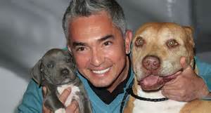 cesar the whisperer whisperer cesar millan cleared in probe cruelty to a pig