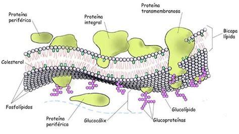 partes de la membrana celular proyecto biosfera