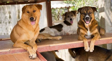 puppies to adopt dogs for adoption soi foundation