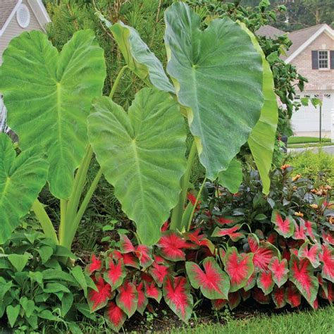 longfield gardens 9 in to 11 in elephant ear green 3 bag 20000114 the home depot