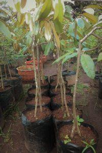 Bibit Terong Genjah buah durian lempok durian pontianak