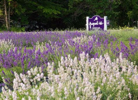 when is lavender in season in michigan 17 best images about bucket list on pinterest lantern