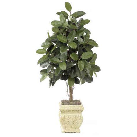 albero da interno le 15 piante da interno resistenti seconda parte fito