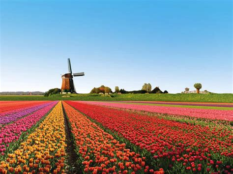 netherlands tulip fields beautiful tulip fields is the best places to travel