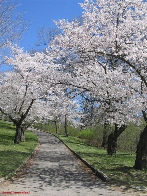 why can t toronto plant more cherry blossom trees quora