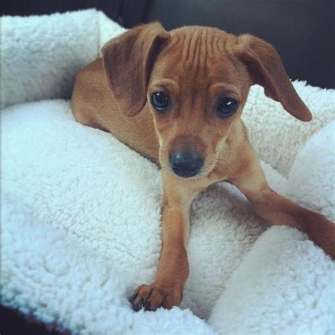pug chiweenie 34 dachshund cross breeds you to see to believe