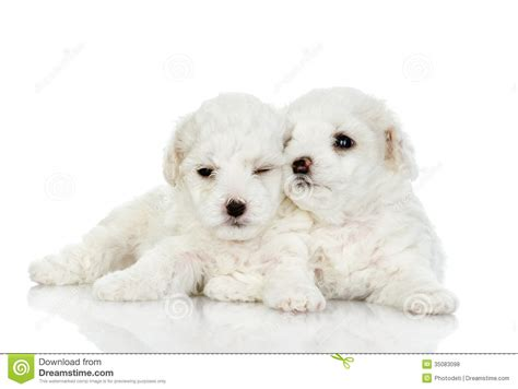two puppies two puppies of a royalty free stock photos image 35083098