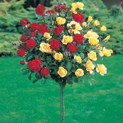 Patio Roses For Sale by Buy Trees And Shrubs Online For Less