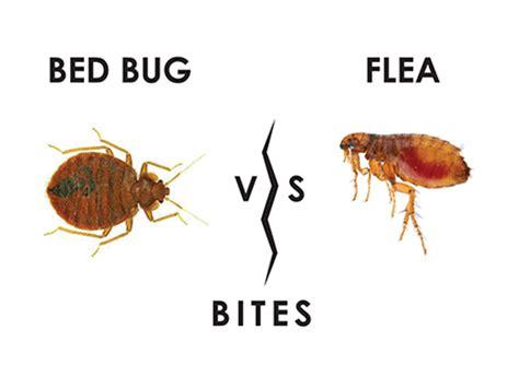 flea bites  bed bug bites distinguished   table