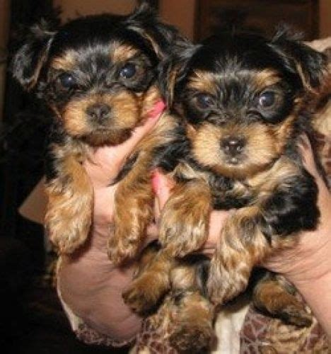 yorkie puppies for sale utah terrier puppies for sale salt lake city ut 197278 petzlover
