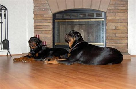 german rottweiler puppies for sale in houston tx comments