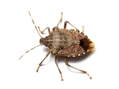 bed bug diseases image gallery kissing bug underside