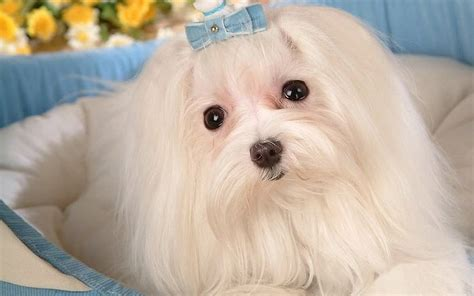 white maltese puppy white maltese cake ideas and designs