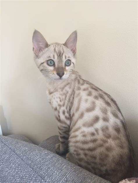 blue eyed snow bengal kitten 3 months old youtube 765 best images about bengal cats savannah cats on pinterest