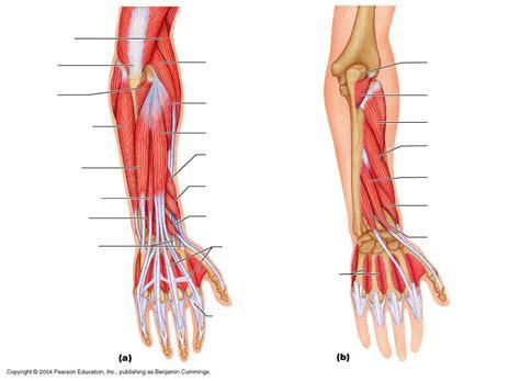 arm muscles diagram arm diagrams diagram site