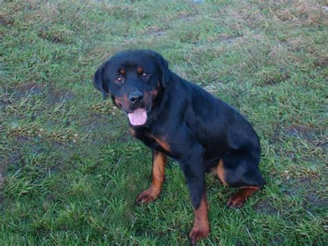 rottweiler 1 year finegan 1 year rottweiler for adoption