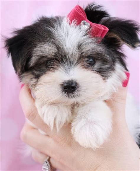 biewer yorkie florida 17 best images about biewer terriers at teacups puppies boutique on