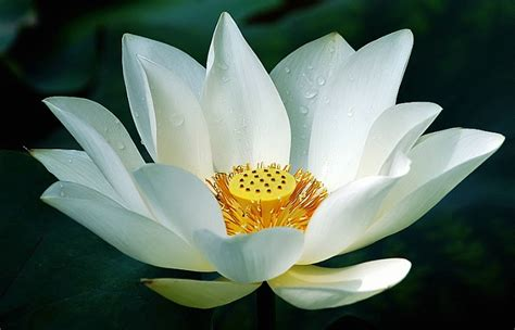 what is white lotus white lotus e liquid
