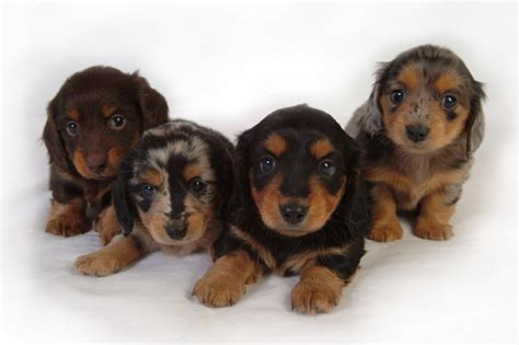 puppies for sale in northwest arkansas akc minature dachshunds northwest arkansas dogs for sale puppies for sale